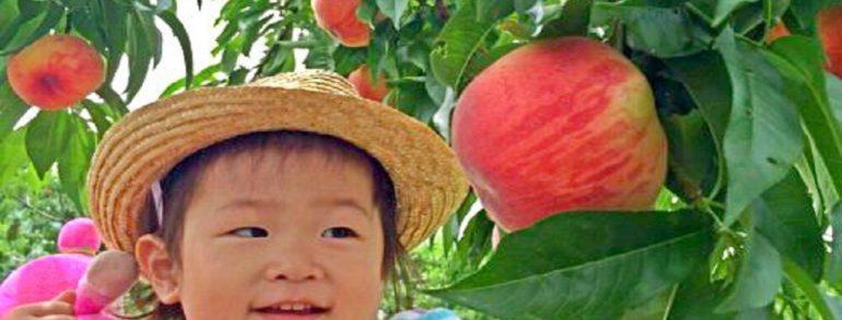 桃子&8月初旬起葡萄吃到飽 富士山五合目 搭乘空中纜車前往富士美景 天上山公園