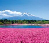 2018年賞芝櫻 標高約2400公尺・富士山五合目&採草莓吃到飽