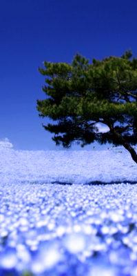 日本鳥取-島根-廣島-北九州市足利紫藤絕色+富士芝櫻美景 11 天遊