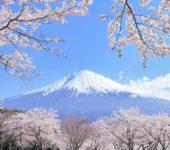 富士山麓賞花遊 自採草莓・特産豬肉涮涮鍋午餐 (編號 : 05532 )