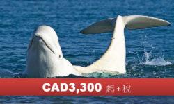 丘吉爾鎮夏季白鯨北極熊 5 日 (DP)